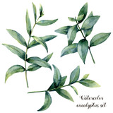 Watercolor eucalyptus branch set. Hand painted exotic leaves isolated on white background. Botanical floral illustration. For design or print. - 184634381