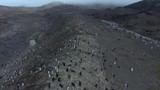 A large number of penguins on the slopes of the Antarctic hills. Andreev. - 184635745