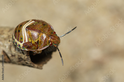 Image of beetle ladybird (Hippodamia variegata) on dry branches. Insect.  Animal.