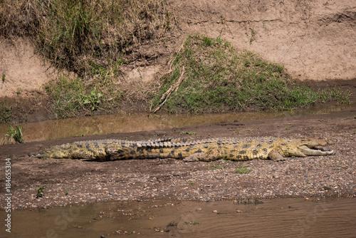 Poster Cappuccino Crocodiles in the Masai River