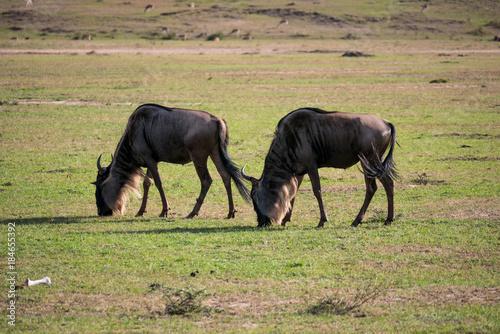 Plexiglas Paarden Wildebeest in the Masai Mara National Reserve