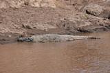 Crocodiles in the Masai River