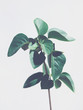 Green plant leaves isolated on light gray background.  Cool tones. Copy space