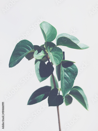 Zielonej rośliny liście odizolowywający na jasnopopielatym tle. Fajne dźwięki. Skopiuj miejsce