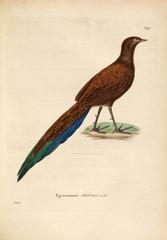 Grey peacock-pheasant.