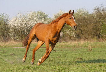 the horse is galloping in the garden blooming in spring