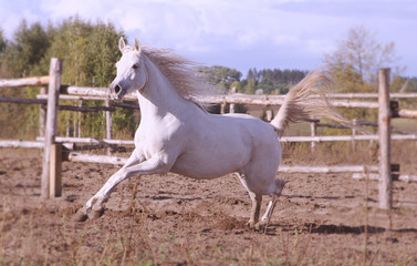 Thoroughbred Arabian horse galloping
