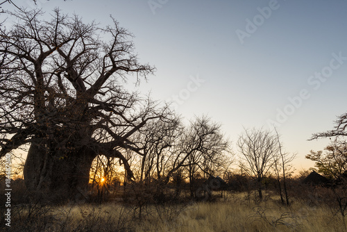 Fotobehang Baobab Huge Baobab plant in the african savannah with clear blue sky at sunrise. Botswana, one of the most attractive travel destionation in Africa.