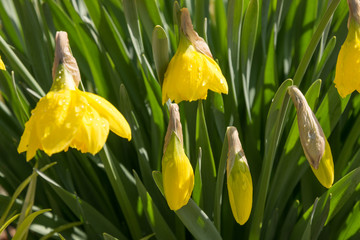Daffodils  with open and closed blossoms