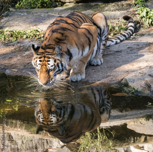 Aluminium Tijger Indochinese Tiger Reflection in water