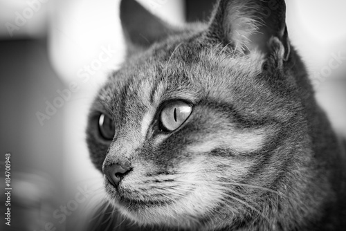 Plexiglas Kat Tabby cat close up portrait in black and white