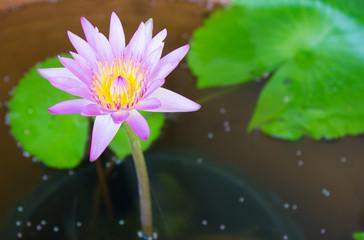 Beauty flower purple lotus in water.