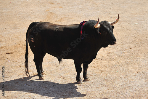 Staande foto Stierenvechten bull in spain