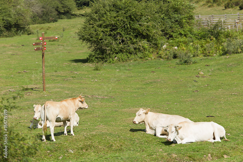 Cows grazing in a green meadow of Navarra.