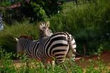 Zebra in park
