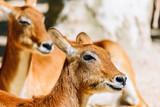 Close Up Portrait Of Wild Antelope