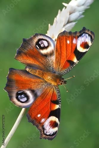 Plexiglas Pauw European peacock butterfly, Nymphalis io