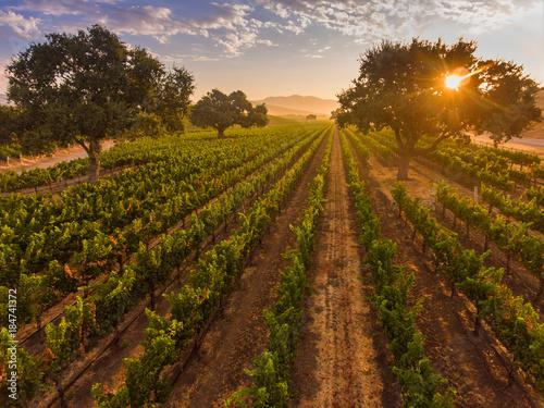 In de dag Ochtendgloren aerial view of vineyard at sunrise, Santa Ynez Valley, California