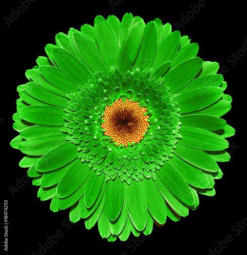 Aluminium Gerbera Green gerbera flower macro photography isolated on black