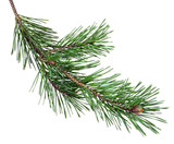 pine branch with cones, isolated without a shadow. Close-up. Christmas. New Year. - 184743793