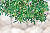 Mediterranean olive trees and olive branches with copy space - 184773392