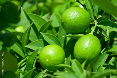 Poster Green lemon on lemon tree with leaves