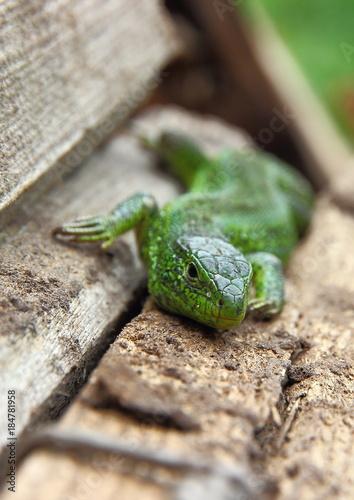 Aluminium Kikker the lizard creeps along the branches