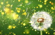 Dandelion flying on overly background - 184789738