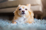 cute chihuahua dog  sit and relax on house floor waiting for his master