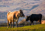 cow go uphill near the fence on hillside. lovely rural scenery with village in valley on the background - 184826503