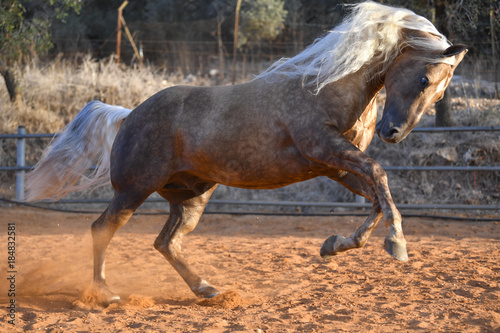 Horse freely running around the field in the farm  © PROMA