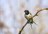 little cute bird barn swallow sitting on a branch in early spring in the garden - 184835545