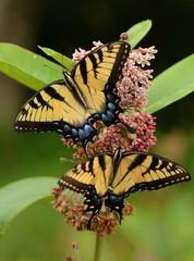 Butterflies in Shenandoah National Park