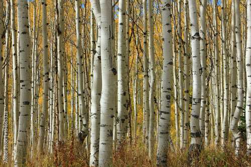 Golden fall aspens, Utah, USA.