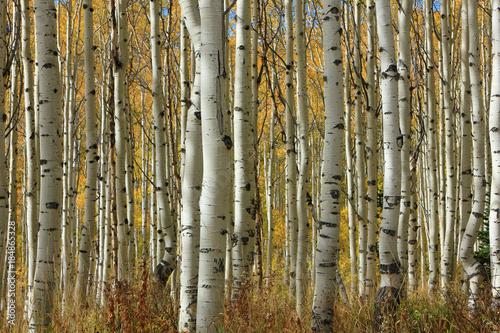 Plexiglas Berkenbos Golden fall aspens, Utah, USA.