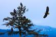Bald Eagles (Haliaeetus leucocephalus) on a tree