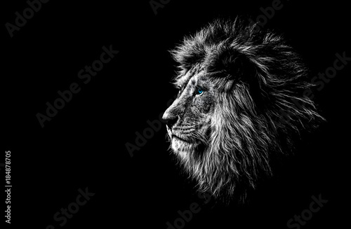 Fototapeta lion in black and white with blue eyes
