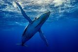 baleine qui téacceuil à pectorales ouvertes - 184886503