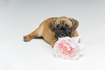 two beautiful french bulldog puppy