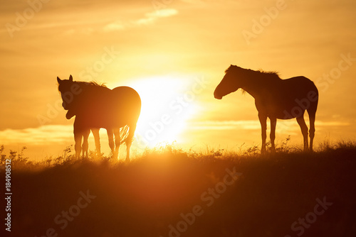 Fotobehang Oranje Horses graze on pasture at sunset. The horse (Equus ferus caballus) is one of two extant subspecies of Equus ferus. It is an odd-toed ungulate mammal belonging to the taxonomic family Equidae.