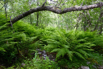 Lush norvegian forest with ferns bush. Landscape photography, Norway, Europe