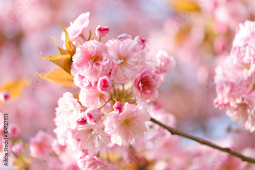 Fotobehang Kersen sakura flowers cherry blossoms