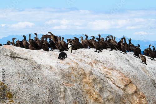 Fotobehang Pinguin African penguins and Cape cormorant birds at Boulders Beach, South Africa