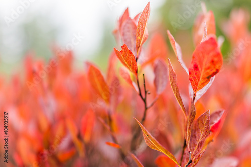 Fotobehang Koraal Macro closeup of many colorful red blueberry bushes in autumn fall showing detail, texture and pattern in morning mist by green pine tree forest in West Virginia