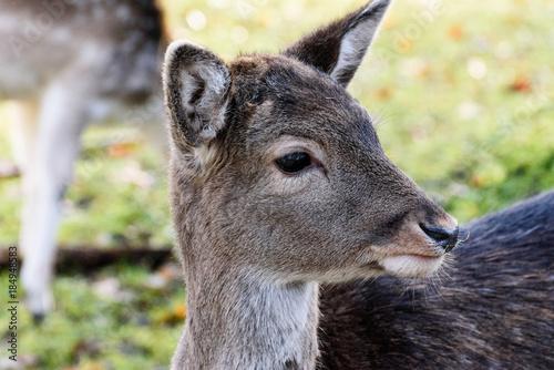 Aluminium Kangoeroe Doe (Baby Deer)