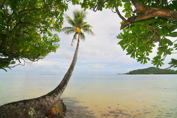Palm on the Pacific beach of the Kosrae island
