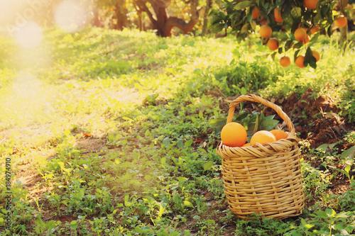 Foto op Aluminium Zwavel geel Basket with oranges in the citrus plantation.