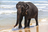 Indian elephant on the ocean shore - 184983986
