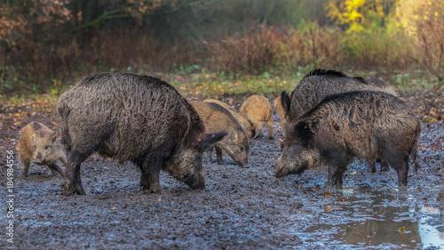 Wild Boars - 184984556