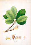Botanical illustration. - 184985549
